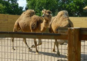 Camels at Wichita Zoo