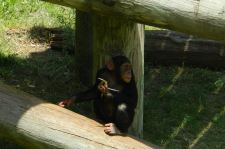 Chimp at Wichita Zoo