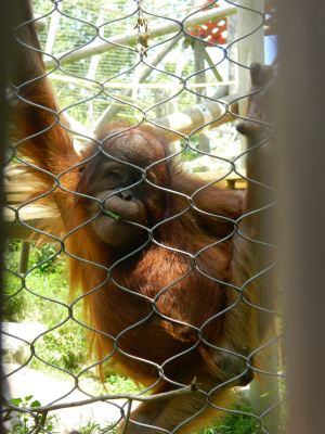 Baby Orangutan at Wichita Zoo