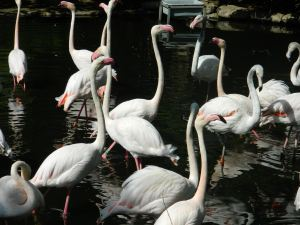 Flamingos at Wichita Zoo