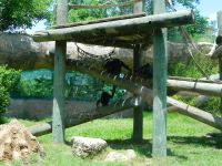 Chimps at Wichita Zoo