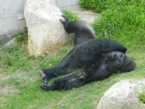 Sleeping gorilla at Wichita Zoo