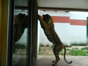 Tiger at Wichita Zoo